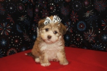 Bubbles Female CKC Havanese $2000 Ready 1/6 SOLD MY NEW HOME JACKSONVILLE, FL