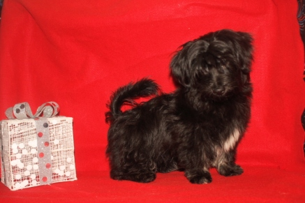 Luke Male CKC Havanese $1800 BUT WAIT AFTER CHRISTMAS SPECIAL $999 Ready 11/4 WITH ALL HIS SHOTS INCLUDING RABIES AVAILABLE