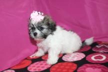 Cuddles Female CKC Havashu $1750 Ready 1/22/17 HAS DEPOSIT MY NEW HOME FERNANDINA,FL