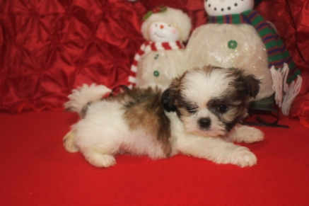 Elf Male CKC Shih Tzu $1750 Ready 12/14 SOLD MY NEW HOME TEQUESTA, FL