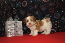 Fireworks Male CKC Havanese $2000 Ready 1/6 SOLD MY NEW HOME DESTIN, FL