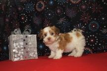 Fireworks Male CKC Havanese $2000 Ready 1/6 SOLD MY NEW HOME DESTIN, FL