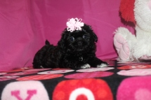 Jennifer Lopez Female CKC Malshi $1750 BUT WAIT JAN PUPPY SPECIAL Ready 1/16 AVAILABLE