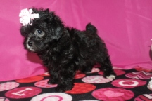 Abby Female CKC Malshipoo $1750 Ready 1/20 SOLD MY NEW HOME JAX, FL