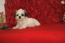 Frosty Male CKC Shih Tzu $1750 Ready 12/14 SOLD MY NEW HOME IS TAMPA, FL