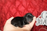 Bam Bam MaleT-Cup Yorkipoo $1750 Ready 3/29 HAS HOLD
