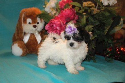 Gracie Female CKC Havanese $1800BUT WAIT EASTER SPECIAL $1500 Ready 2/16 AVAILABLE