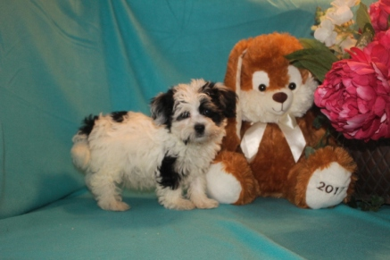 Gremlin Male CKC Havanese $1800 BUT WAIT EASTER SPECIAL $999 Ready 2/16 SOLD MY NEW HOME JACKSONVILLE, FL