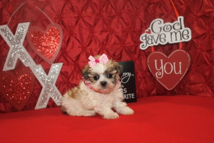 Juliet Female CKC Malshi $1750 Ready 2/14 Sold MY NEW HOME Jacksonville, FL