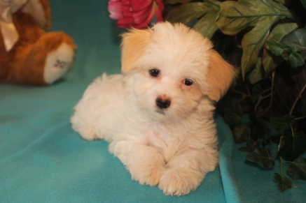 Mandy Female CKC Havanese $1800 BUT WAIT SPECIAL $1250 Ready 2/23 SOLDMY NEW HOME VERO BEACH, FL
