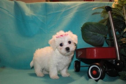 Mindy Female CKC Havanese $1800 Ready 2/23 SOLD MY NEW HOME JACKSONVILLE, FL