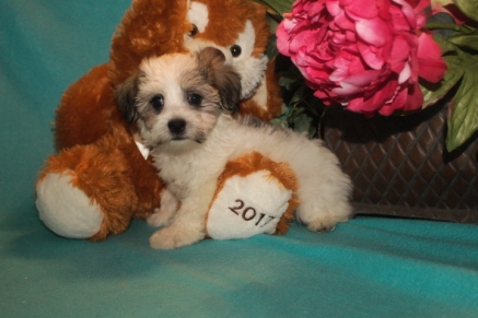 Moko Male CKC Havanese $1800 BUT WAIT PUPPY SPECIAL $1500 Ready 2/23 SOLD MY NEW HOME IS ST AUGUSTINE, FL