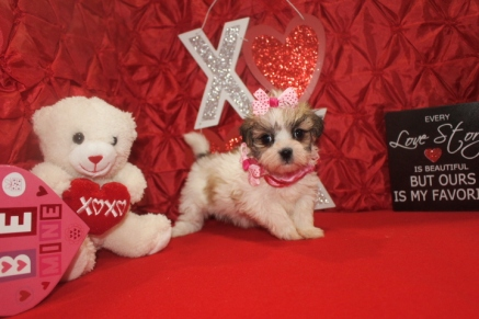 Valentine Female CKC Malshi $1750 Ready 2/14 SOLD MY NEW HOME BLUFFTON, SC