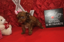 Beauty Female CKC Havapoo $2000 Ready 2/12 SOLD MY NEW HOME JACKSONVILLE, FL