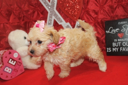 Diva Female CKC Havapoo $1750 Ready 2/12 SOLD MY NEW HOME SPRINGFIELD IL