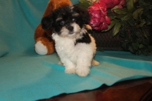 Garfield Male CKC Havanese $1800 BUT WAIT EASTER SPECIAL $999 Ready 2/16 AVAILABLE