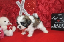 Sweet Pea Female CKC Havashu $1750 Ready 2/9 SOLD MY NEW HOME BELLINGHAM, WA