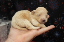 Diva Female CKC Havapoo $1750 Ready 2/12 AVAILABLE