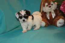 Gracie Female Female CKC Havanese $1800 BUT WAIT EASTER SPECIAL $1500 Ready 2/16 AVAILABLE