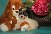 Gus Male CKC Havanese $1800 BUT WAIT PUPPY SPECIAL $1500 Ready 2/16 SOLD MY NEW HOME CLEVELAND TN