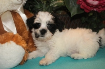 Monte Male CKC Havanese $1800 BUT WAIT PUPPY SPECIAL $1500 Ready 2/23 SOLD MY NEW HOME JACKSONVILLE, FL