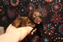 Angel Female CKC Havapoo $2000 Ready 2/12 HAS DEPOSIT MY NEW HOME JACKSONVILLE, FL 1W3D 9oz