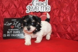 Gizmo Male CKC Havanese $1800 BUT WAIT PUPPY SPECIAL $1500 Ready 2/16 AVAILABLE