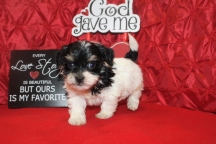 Gizmo Male CKC Havanese $1800 BUT WAIT EASTER SPECIAL $999 Ready 2/16 AVAILABLE