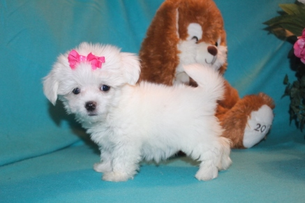 Milly Female CKC Havanese $2000 Ready 2/23 SOLD MY NEW HOME EDGE WATER, FL