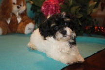 Garfield Male CKC Havanese $1800 BUT WAIT EASTER SPECIAL $1250 Ready 2/16 AVAILABLE