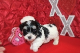 Gino Male Female CKC Havanese $1800 BUT WAIT PUPPY SPECIAL $1500 Ready 2/16 AVAILABLE