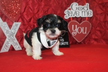 Gizmo MALE CKC Havanese $1800 BUT WAIT EASTER SPECIAL $999 READY NOW AVAILABLE