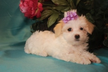 Mandy Female CKC Havanese $1800 BUT WAIT SPECIAL $1250 Ready 2/23 HAS DEPOSIT MY NEW HOME VERO BEACH, FL