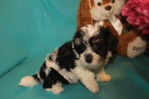 Mister Male CKC Havanese $1800 BUT WAIT SPECIAL $1250 Ready 2/23 AVAILABLE