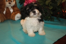 Garfield Male Female CKC Havanese $1800 BUT WAIT EASTER SPECIAL $999 Ready 2/16 AVAILABLE