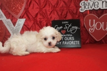 Cutey Male CKC Havashu $1750 Ready 2/9 SOLD MY NEW HOME JACKSONVILLE, FL