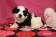 Cupid Male CKC Shihpoo $1750 Ready 2/10 AVAILABLE