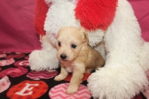 Diva Female CKC Havapoo $1750 Ready 2/12 HAS DEPOSIT MY NEW HOME SPRINGFIELD IL
