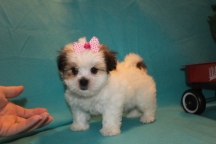 Lacey Female Imperial CKC Shih Tzu $1750 Ready 2/22 SOLD MY NEW HOME EDGEWATER, FL