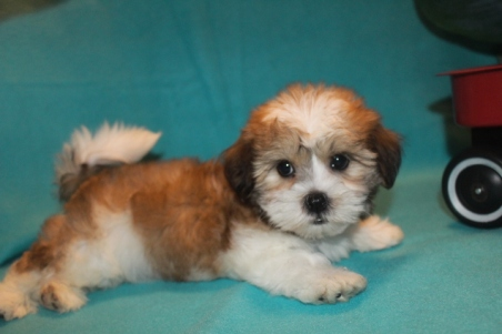 Logan Male Imperial CKC Shih Tzu $1750 Ready 2/22 SOLD MY NEW HOME JACKSONVILLE, FL