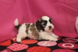 LoveBug Female CKC Shihpoo $1750 Ready 2/10 HAS DEPOSIT MY NEW HOME St Augustine, FL