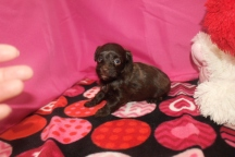 Angel Female CKC Havapoo $2000 Ready 2/12 HAS DEPOSIT MY NEW HOME JACKSONVILLE, FL 3W6D 1.1 LB