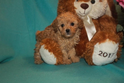 Charlie Brown Male Maltipoo $1750 Ready 3/17 SOLD MY NEW HOME ALTAMONTE SPRINGS, FL