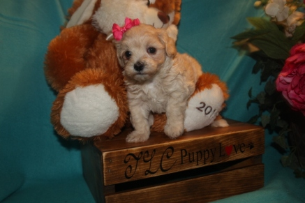 Cher Female CKC Maltipoo $1750 Ready 3/26 SOLD MY NEW HOME PONTE VEDRA BEACH, FL