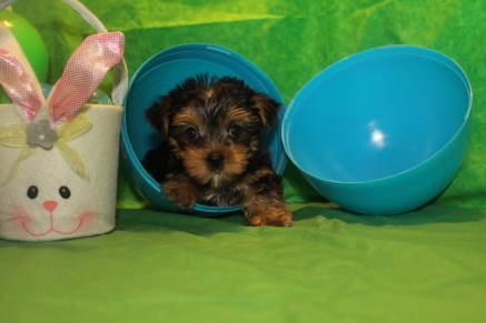 Cooper Male T-cup $1750 SPECIAL 1500 Ready 3/31 MY NEW HOME ORANGE PK, FL SOLD