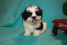 Cupid Male CKC Shihpoo $1750 Ready 2/10 HAS DEPOSIT MY NEW HOME MIAMI, FL