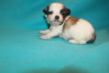 Gentle Male CKC Malshi $1750 Ready 3/29 AVAILABLE