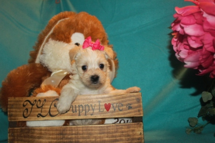 Harmony Female CKC Morkie $1750 Ready 3/28 SOLD MY NEW HOME MT DORA, FL