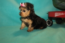 Honey Female CKC Yorkipoo $1750 Ready 2/22 SOLD MY NEW HOME PALM COAST, FL