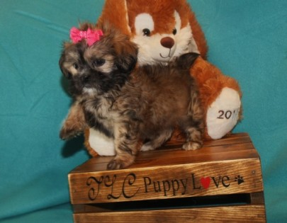 Iris Female CKC Shihpoo $1750 SOLD MY NEW HOME HILLIARD, FL